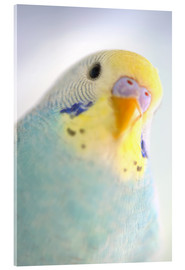 Cuadro de metacrilato  Details of colorful Budgerigar parrot