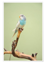 Póster  budgie resting on a branch