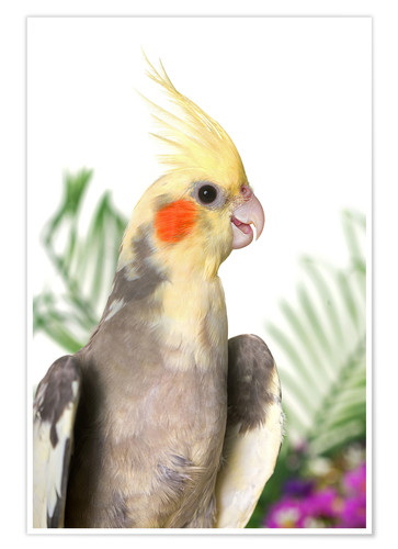 Póster Gray cockatiel with flowers