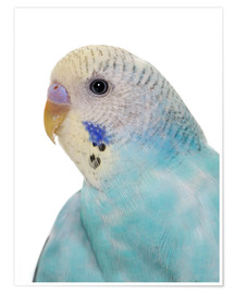 Póster Young, blue budgerigar