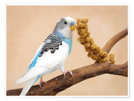 Póster  Budgerigar on branch eating millet