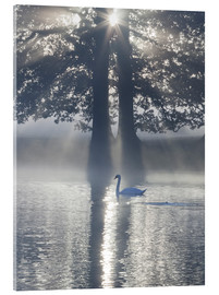 Cuadro de metacrilato  Swan on misty lake - Alex Saberi