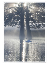 Póster Swan on misty lake