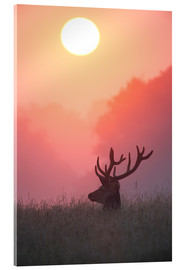 Cuadro de metacrilato  A male deer Stag at sunset - Alex Saberi