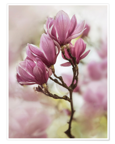 Póster Branch of pink magnolia flowers