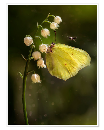 Póster Yellow butterfly on white bell flowers