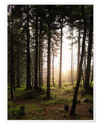 Póster Forest in the evening light