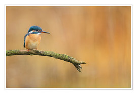 Póster  Kingfisher in autumn - Dieter Meyrl