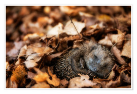 Póster Sleeping baby hedgehog