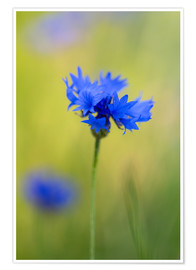 Póster Blooming Cornflowers