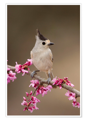 Póster Black-crested Titmouse, Baeolophus atricristatus, adult perched on branch of blooming Eastern redbud