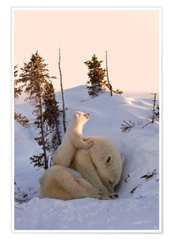 Póster  Polar bear family in Wapusk National Park, Canada