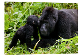 Metacrilato  Uganda, Bwindi Impenetrable National Park, Infant Mountain Gorilla (Gorilla gorilla beringei) leans