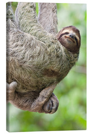 Lienzo  A Brown-Throated Sloth (Bradypus variegatus) and her baby. Corcovado National Park, Costa Rica