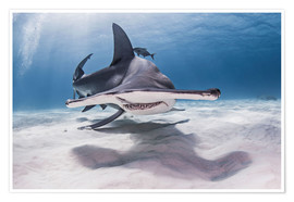 Póster  Great Hammerhead Shark swimming near seabed - Cultura/Seb Oliver