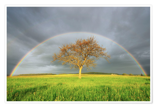 Póster Plane Tree in Meadow with Rainbow in Spring, Bad Mergentheim, Baden-Wurttemberg, Germany