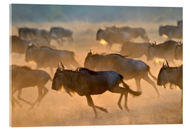 Metacrilato  Wildebeests during the great migration, Serengeti - age fotostock