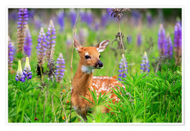 Póster United States, Minnesota, White tailed Deer (Odocoileus virginianus), baby, in a meadow with lupins