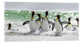 Cuadro de metacrilato  King Penguin (Aptenodytes patagonicus) on the Falkand Islands in the South Atlantic. Group of pengui - Cubo Images