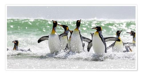 Póster King Penguin (Aptenodytes patagonicus) on the Falkand Islands in the South Atlantic. Group of pengui