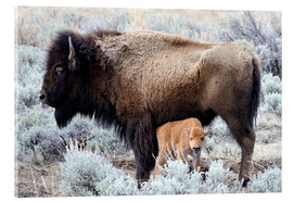 Cow Nursing Bison Calf, Yellowstone National Park