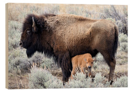 Madera  Cow Nursing Bison Calf, Yellowstone National Park