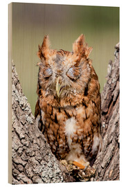 Cuadro de madera  Screech-Owl eating grasshopper