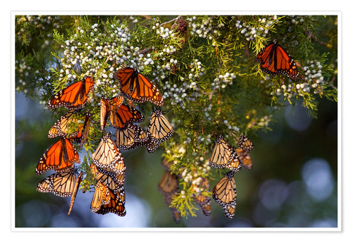 Póster Monarch butterflies (Danaus plexippus) roosting in Eastern Red Cedar tree (Juniperus virginiana), Pr