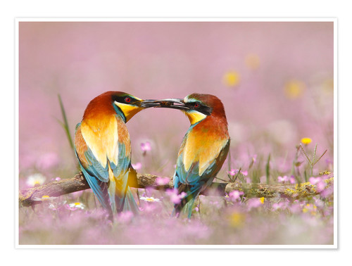 Póster Male European bee-eater (Merops apiaster) offering female a bee, Spain, Andalusia, Seville