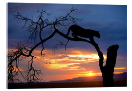 Metacrilato  Africa, Botswana, Savute Game Reserve. Leopard on branch at sunset. - Jim Zuckerman