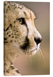Lienzo  Livingstone, Zambia. Close-up of Cheetah profile. - Janet Muir