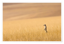 Póster  Hoarusib Valley, Namibia. Africa. A Meerkat stands tall in the prarie grass. - Janet Muir
