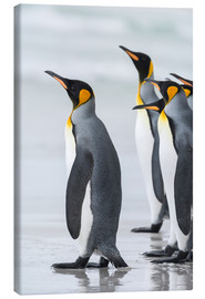 Lienzo  King Penguin (Aptenodytes patagonicus) on the Falkand Islands in the South Atlantic. Group of pengui - Martin Zwick