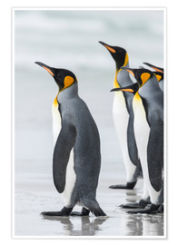 Martin Zwick - King Penguin (Aptenodytes patagonicus) on the Falkand Islands in the South Atlantic. Group of pengui