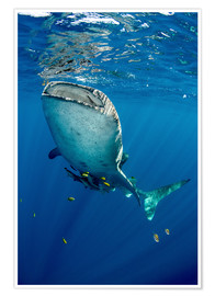 Póster  Whale shark - Pete Oxford