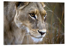 Metacrilato  Okavango Delta, Botswana. Close-up of a female lion. - Janet Muir