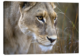 Lienzo  Okavango Delta, Botswana. Close-up of a female lion. - Janet Muir