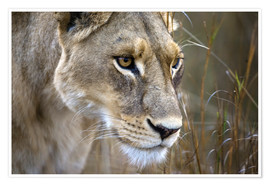 Janet Muir - Okavango Delta, Botswana. Close-up of a female lion.