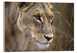 Madera  Okavango Delta, Botswana. Close-up of a female lion. - Janet Muir