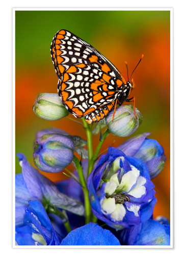 Póster Checkerspot de Baltimore en flor