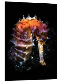 Cuadro de PVC  A seahorse lit with a snoot from behind, Tulamben, Bali, Indonesia. - Brook Peterson