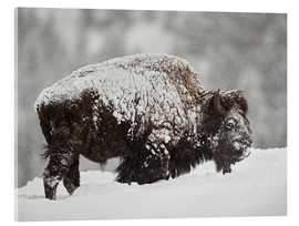 Cuadro de metacrilato  Bison (Bison bison) bull covered with snow in snowfall in the winter, Yellowstone National Park, Wyo - James Hager