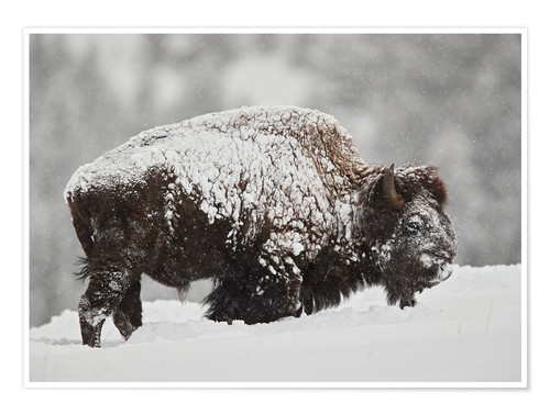 Póster Bison (Bison bison) bull covered with snow in snowfall in the winter, Yellowstone National Park, Wyo