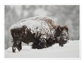 Póster  Bison (Bison bison) bull covered with snow in snowfall in the winter, Yellowstone National Park, Wyo - James Hager