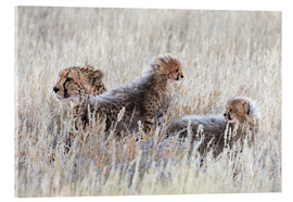 Cuadro de metacrilato  Cheetah (Acinonyx jubatus) with cubs, Kgalagadi Transfronter Park, Northern Cape, South Africa, Afri