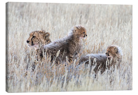 Lienzo  Cheetah (Acinonyx jubatus) with cubs, Kgalagadi Transfronter Park, Northern Cape, South Africa, Afri