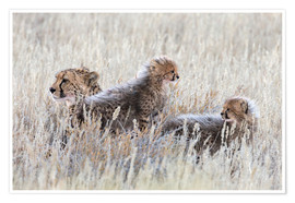 Póster Cheetah (Acinonyx jubatus) with cubs, Kgalagadi Transfronter Park, Northern Cape, South Africa, Afri