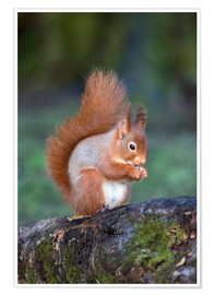 Póster Red squirrel (Sciurus vulgaris), Eskrigg Nature Reserve, Lockerbie, Scotland, United Kingdom, Europe