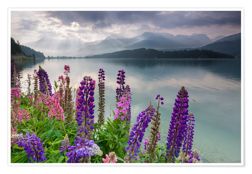 Póster The multi coloured lupins frame the calm water of Lake Sils at dawn, Maloja, canton of Graubunden, E