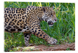 G & M Therin-Weise - Young Jaguar (Panthera onca) on a riverbank, Cuiaba river, Pantanal, Mato Grosso, Brazil, South Amer